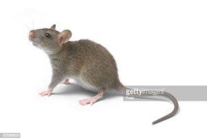 Como Matar Rato Comundongo